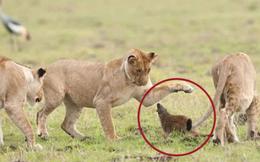 Con mồi 'dọa nạt' kẻ đi săn: Phản ứng của cầy Mangut khiến bầy sư tử chết lặng!