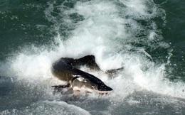 Đập Tam Hiệp khiến loài cá tầm to như cá mập trên sông Dương Tử tuyệt diệt?