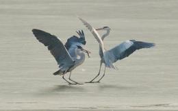 7 ngày qua ảnh: Chim diệc kiếm ăn trên mặt nước đóng băng ở Trung Quốc