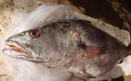 Ngư dân Quảng Ngãi bắt được cá lạ, nghi cá sủ vàng quý hiếm