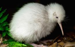 Con chim trắng chết trên bàn mổ khiến cả New Zealand tiếc thương