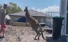 """Video: Bị người đàn ông xua đuổi, kangaroo """"điên tiết"""" tung đòn đánh gục"""
