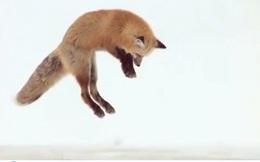 Cách săn mồi trên tuyết cực ấn tượng của cáo đỏ ở Yellowstone