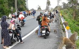 Lúng túng xử lý người 'làm hư' khỉ hoang dã ở Sơn Trà