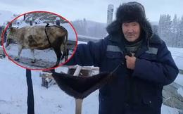 Bác nông dân Nga tự chế bikini để đàn bò chống chọi cái lạnh -50 độ C
