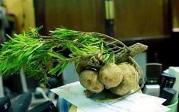 Loại nấm mọc trên ngọn cây, giá vài triệu/kg vẫn được nhà giàu Việt lùng mua quanh năm vì 'ít có, khó tìm'