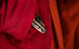 7 ngày qua ảnh: Trăn Miến Điện thò đầu khỏi ống tay áo nhà sư
