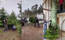 """Cận cảnh quá trình """"hạ gục"""" cây thông Noel mà vẫn giữ nguyên vẹn lá cành khiến ai nấy sửng sốt, đóng gói và vận chuyển lại càng nhiều điều thú vị"""