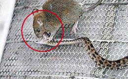Thả chuột nhắt vào lồng rắn: Người đàn ông ngẩn người chứng kiến trận chiến 30 phút 'đi ngược tự nhiên'