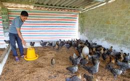 Làm giàu từ mô hình nuôi gà kết hợp trồng cây ăn quả