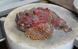 Cá xấu xí, khuôn mặt hung tợn chỉ cho gia cầm ăn thành món đắt đỏ, giá gần chục triệu/con