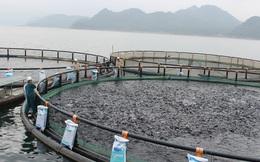 Trang trại nuôi cá rô phi nặng 2kg, khám bệnh thường xuyên, xuất đi Mỹ và châu Âu