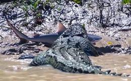Clip: Hi hữu đi nhầm cửa sông, cá mập bị cá sấu xé thành từng mảnh