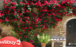Không cần tinh dầu hay xịt phòng, ngôi nhà của chị em sẽ thơm mát hơn nhờ trồng những loại cây này