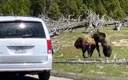 Video: Bò bison bỏ mạng dưới nanh vuốt của gấu xám sau 5 phút giao chiến