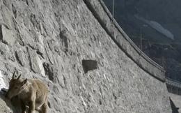 """Clip: Đàn dê có khả năng leo núi cực đỉnh, thách thức cả """"tử thần"""""""