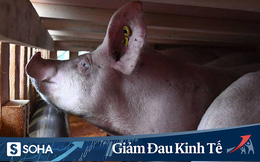 Cái khó ló cái khôn: Làm giàu nhờ chở lợn bằng máy bay Boeing 747 trong mùa dịch COVID