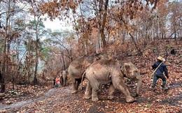 Thất nghiệp vì Covid-19, hàng ngàn chú voi Thái Lan đi bộ về quê