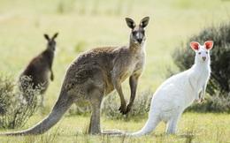 Top 10 sự thật bất ngờ về loài động vật mang tính biểu tượng của Australia