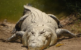 1001 thắc mắc: Vì sao cá sấu có thể giết chết kẻ thù ngay cả khi ngủ?
