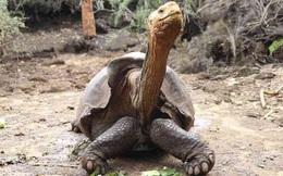 Đưa rùa khổng lồ 100 tuổi trở về đảo Espanola