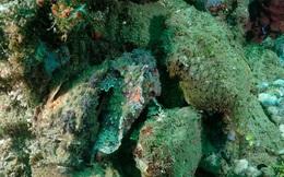 Cá mặt quỷ ẩn mình tài tình dưới đáy biển