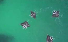 """Video: Cá đuối tạo xoáy nước để """"quây"""" con mồi"""