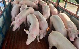 Nhập khẩu 500 lợn sống từ Thái Lan: Giá lợn hơi về Việt Nam là 70.000đ/kg