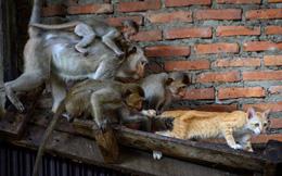 24h qua ảnh: Đàn khỉ đuổi bắt mèo trong tòa nhà hoang ở Thái Lan