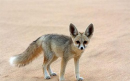 1001 thắc mắc: Loài cáo nào nhỏ nhất thế giới?