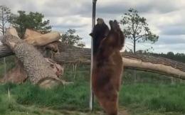 Sự thật về vũ điệu múa cột hài hước của gấu nâu