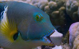 Cá thông minh, lợi dụng san hô để đập vỏ sò