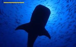 Bữa ăn 'khổng lồ' của cá mập voi