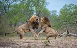 Trâu rừng vô tình cứu nguy cho sư tử đực
