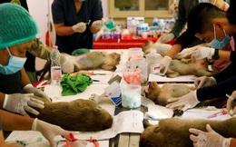 Thái Lan triệt sản hàng trăm con khỉ đói khủng bố khách du lịch
