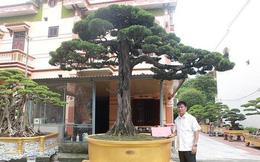 Cây duyên tùng hơn 300 tuổi ở Phú Thọ, đại gia trả 1 triệu USD vẫn không bán