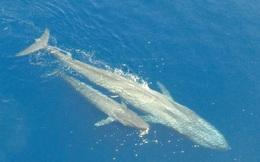 Kỳ diệu khoảnh khắc cá voi xanh cho con bú