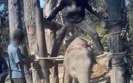 Đau lòng cảnh huấn luyện voi như địa ngục để chiều lòng du khách: Quá độc ác và tàn nhẫn!