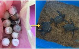 Mua rồi quên mất không ăn, túi trứng nở ra đàn rùa cực xinh nhưng đằng sau là một vấn đề khiến nhiều người cảm thấy nhói đau