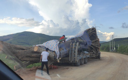 """Vụ xe chở cây """"quái thú"""" ở Nghệ An: Kiểm lâm thông tin về nguồn gốc cây"""