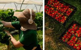 Thất nghiệp, người dân Anh đổ xô đến nông trại hái dâu, kiếm được hơn 500 USD/tuần