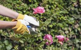 Các bước trồng hồng vô cùng đơn giản từ cành giâm ai đọc xong cũng thử nghiệm thành công