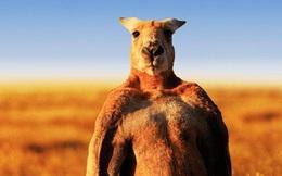 Kangaroo 'khiêu khích' chú công nhân đánh nhau