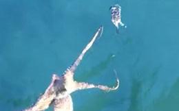 Video: Cuộc đuổi bắt đầy kịch tính giữa bạch tuộc và cua
