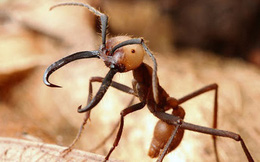 Loài kiến háu ăn nhất thiên nhiên: một ngày săn 500.000 con mồi, hàm răng nối lành được vết thương của người