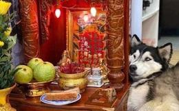 """Chú chó Husky nằm """"chầu chực"""" mãi cạnh bàn thờ thần tài chỉ vì một miếng thịt, dân tình gật gù đúng là... khổ vì ăn"""