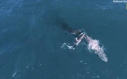 Lần đầu tiên trong lịch sử ghi lại cảnh cá mập trắng khổng lồ hạ gục cá voi