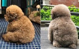"""Dân mạng cười rần rần với cô chó Poodle mũm mĩm có dáng ngồi """"dỗi hờn cả thế giới"""", ngờ đâu đó lại là """"đại tiểu thư"""" vạn người mê, tự đóng quảng cáo kiếm tiền cực xịn"""