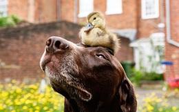 Nhặt được quả trứng dọc đường, chú chó khiến dân mạng 'tan chảy' khi thành mẹ của vịt con