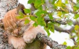 Vì sao mèo thích thể hiện khả năng... ngủ trên cây cao?